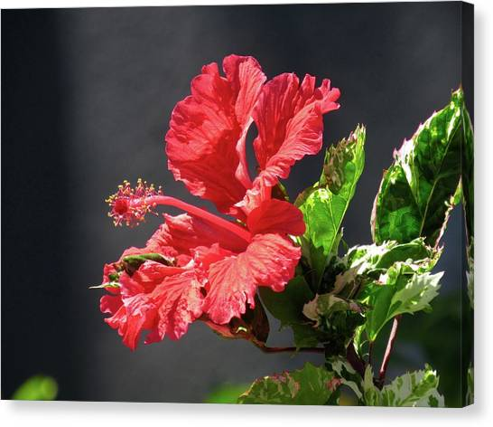 The Mallow Hibiscus Canvas Print