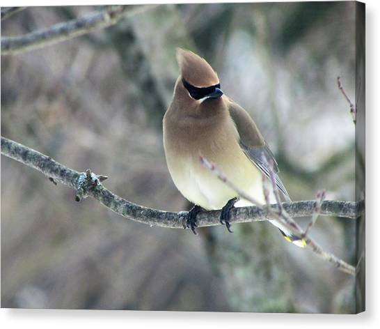 The Masked Cedar Waxwing Canvas Print