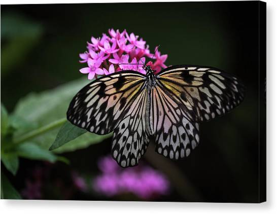 The Master Calls A Butterfly Canvas Print