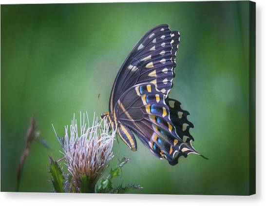 The Mattamuskeet Butterfly Canvas Print