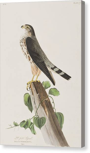 Falcons Canvas Print - The Merlin by John James Audubon