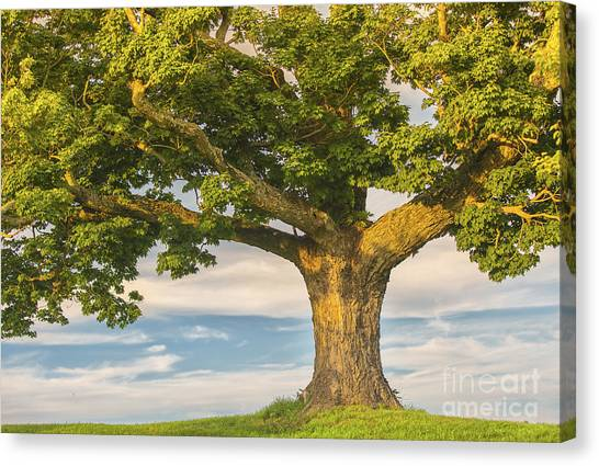 The Mighty Maple Canvas Print