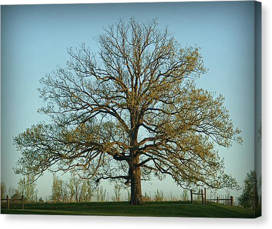 The Mighty Oak In Spring Canvas Print