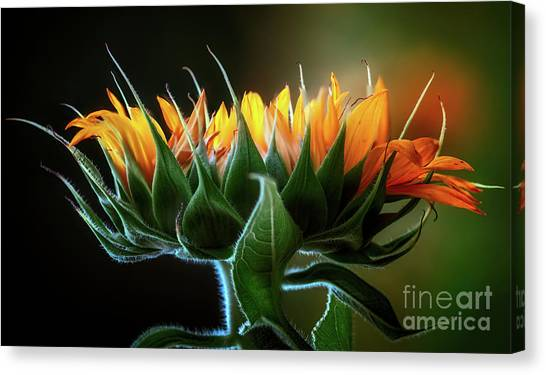 The Mighty Sunflower Canvas Print