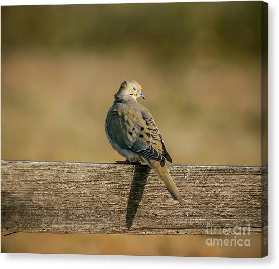 The Morning Dove Canvas Print