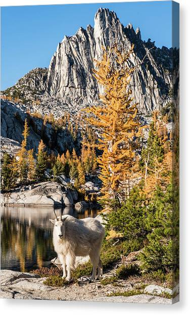 The Mountain Goat In The Enchantments Canvas Print