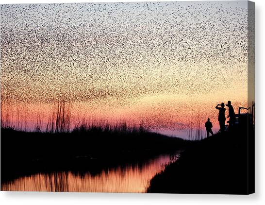 Starlings Canvas Print - The Murmuration Makers by Roeselien Raimond