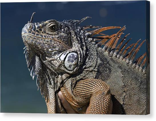 The Night Of The Iguana Canvas Print by Carl Purcell