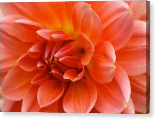 Canvas Print - The Opening Of A Dahlia by Sonja Anderson