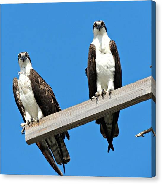 Osprey Canvas Print - The Ospreys Have Been Nesting Here In by Claudia Miller