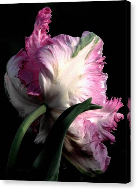 The Parrot Tulip Queen Of Spring Canvas Print