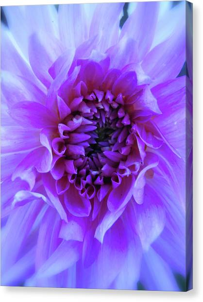 The Passionate Dahlia Canvas Print
