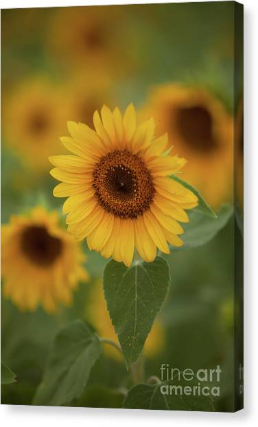The Patch Of Sunflowers Canvas Print