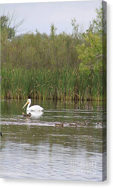 The Pelican And The Ducklings Canvas Print