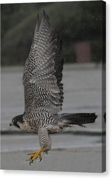 The Peregrine Falcon Canvas Print