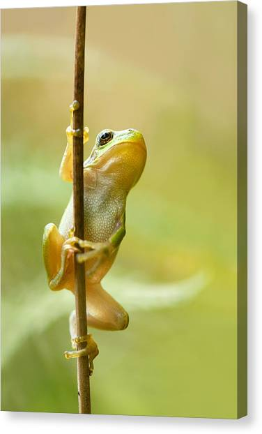 Frogs Canvas Print - The Pole Dancer - Climbing Tree Frog  by Roeselien Raimond