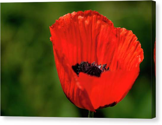 The Poppy Next Door Canvas Print