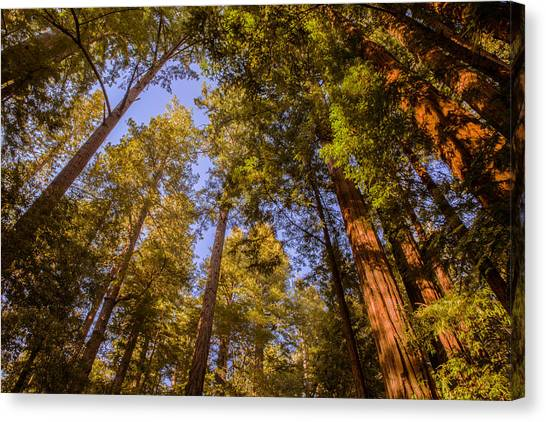 The Portola Redwood Forest Canvas Print