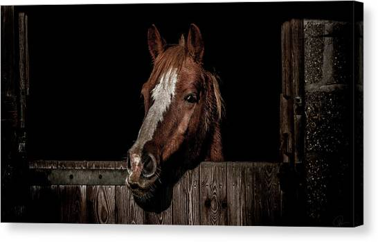 Ponies Canvas Print - The Poser by Paul Neville