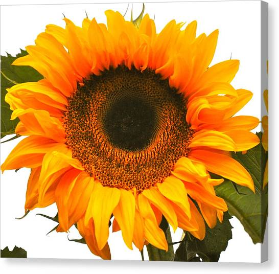 The Prettiest Sunflower Canvas Print