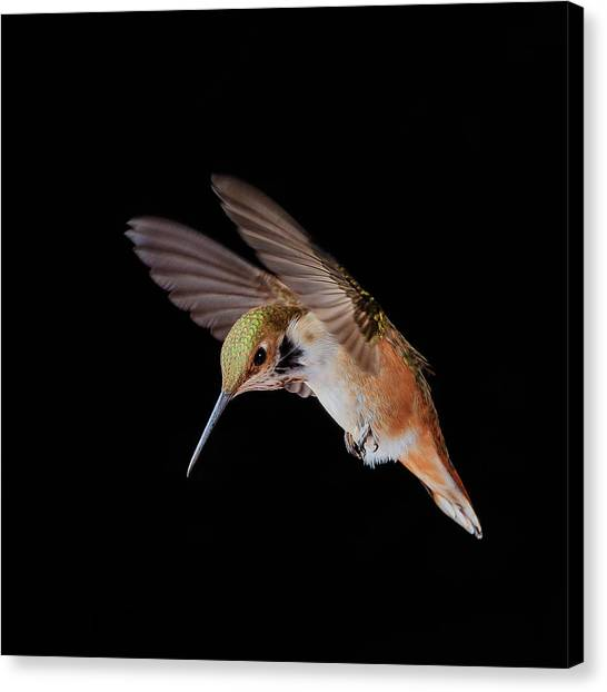 Hummingbird Canvas Print - The Provocateur by Briand Sanderson