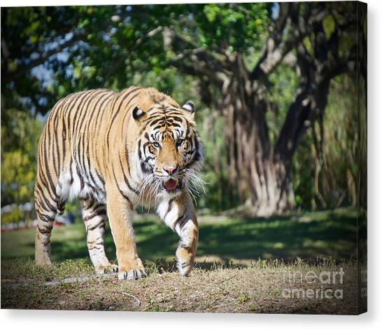 The Prowler Canvas Print