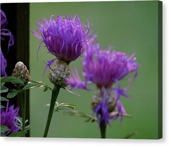 The Purple Bloom Canvas Print