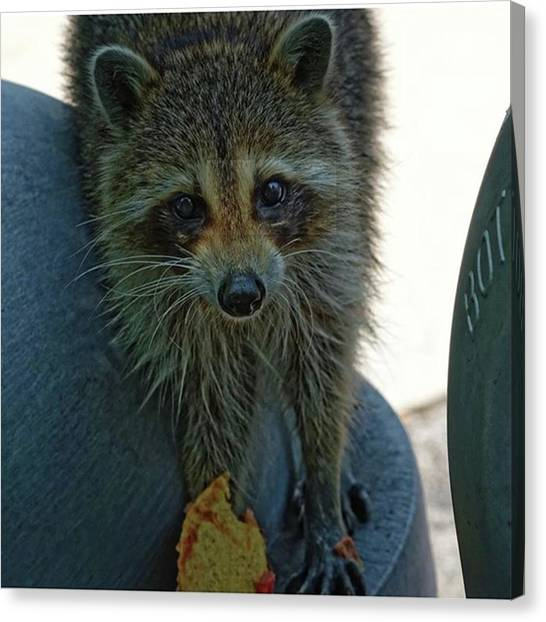 Raccoons Canvas Print - Raccoon At Lunch by Marvin Reinhart
