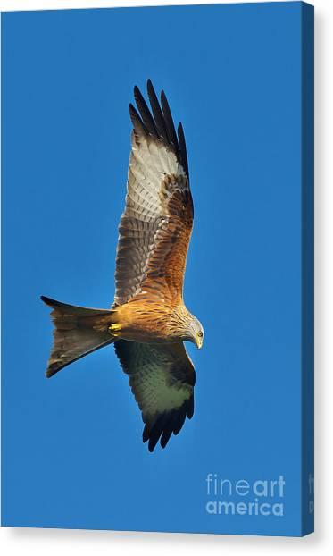 The Red Kite - Milvus Milvus Canvas Print