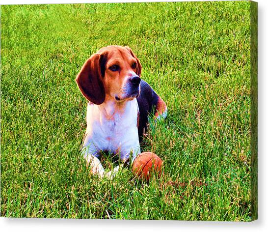 The Reserved Beagle Canvas Print