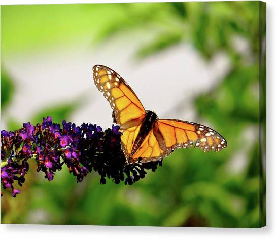The Resting Monarch Canvas Print
