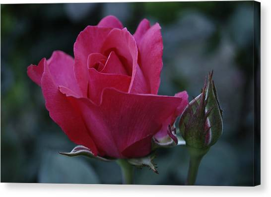 The Rose Canvas Print by Jen Baptist