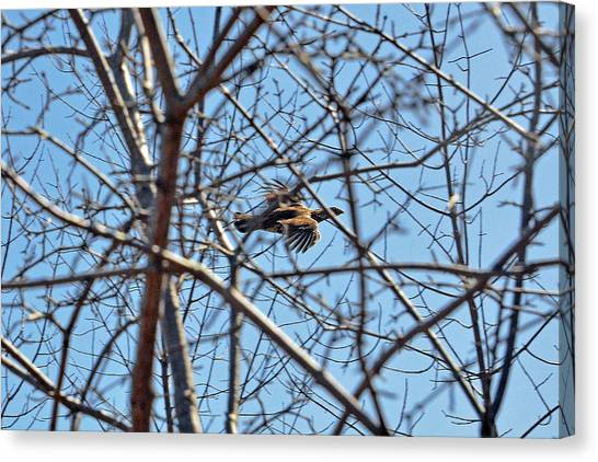 Woodcock Canvas Print - The Ruffed Grouse Flying Through Trees And Branches by Asbed Iskedjian
