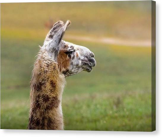 Llamas Canvas Print - The Safari Experience .. Follow Me by Hsa Htaw