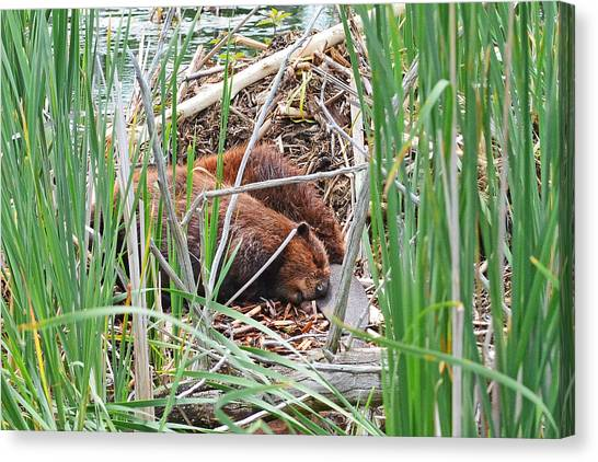 Woodcock Canvas Print - The Sleeping Beavers by Asbed Iskedjian