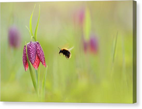 Chequered Canvas Print - The Snake's Head And The Bumblebee - Fritillaria Meleagris by Roeselien Raimond