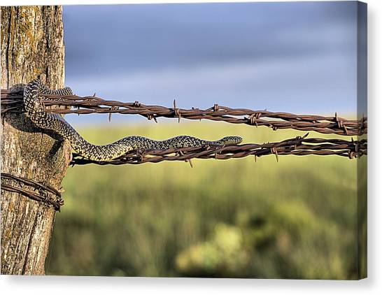 The Speckled Kingsnake  Canvas Print by JC Findley