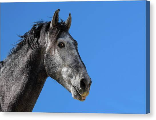 The Stallion Canvas Print