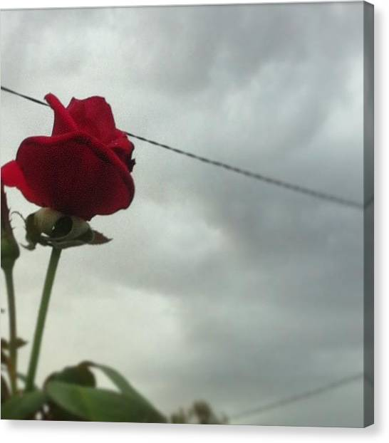 Red Roses Canvas Print - Rose In The Storm by Cat Penaluna