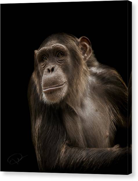 Apes Canvas Print - The Storyteller by Paul Neville