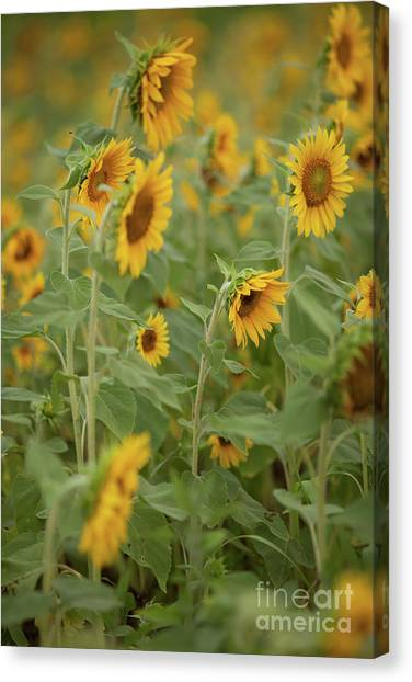 The Sunflower Patch Canvas Print
