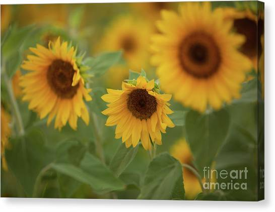 The Sunflowers In The Field Canvas Print
