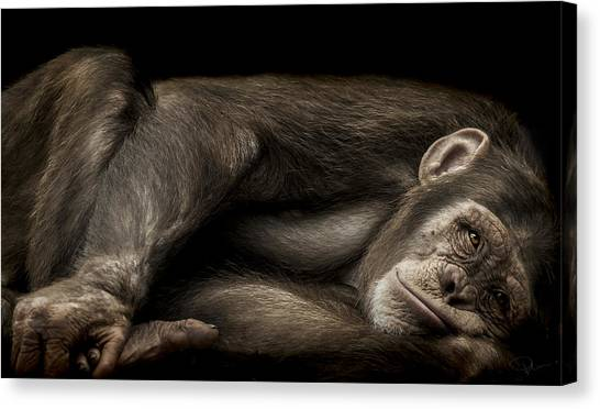 Chimpanzees Canvas Print - The Teenager by Paul Neville