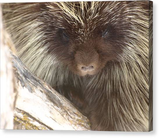 The Tender Side Of Porcupine Canvas Print