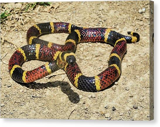 Coral Snakes Canvas Print - The Texas Coral Snake by JC Findley