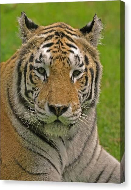 The Tiger's Stare Canvas Print