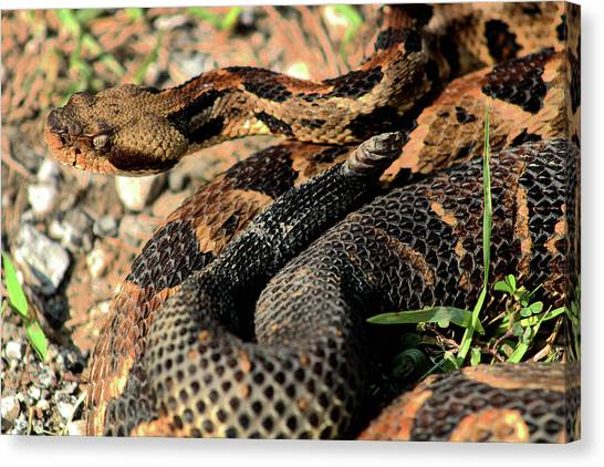 Timber Rattlesnakes Canvas Print - The Timber Rattlesnake by Kyle Findley