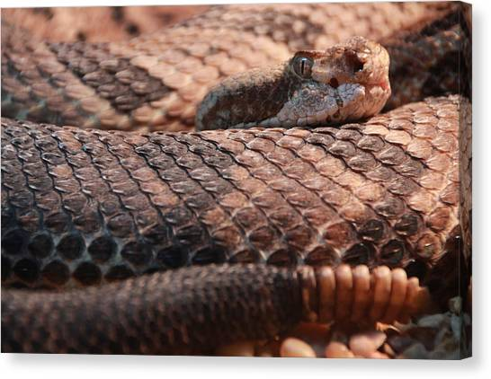 Timber Rattlesnakes Canvas Print - The Timber Rattlesnake by Michael Symons