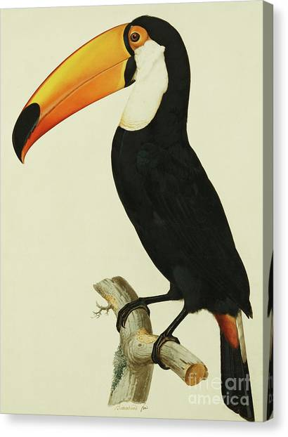 Toucans Canvas Print - The Toco Toco Toucan  Ramphastos Toco by Jacques Barraband