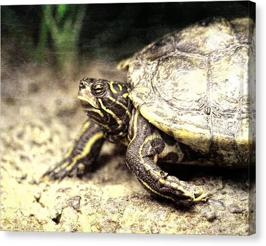 Snapping Turtles Canvas Print - The Turtle by Dan Sproul